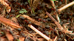 Colony of black ants in the nest closeup Stock Footage