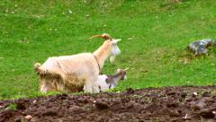 Goats and baby goat kids walking on the field Stock Footage