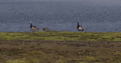 Barnacle Geese Family On Shoreline of Bay in Arctic Ocean Stock Footage