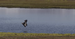 Barnacle Goose Flies to shore of Pond Stock Footage