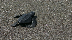 Baby turtle reached the sea after birth Stock Footage
