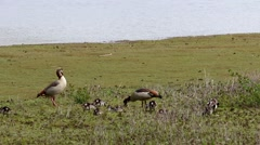 Egyptian Goose Parents and Goslings Stock Footage