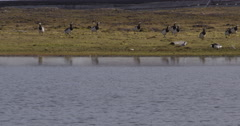 Barnacle Geese Flock Runs To Pond Stock Footage
