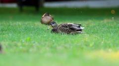 Wild ducks enjoy the rest in the grass Stock Footage