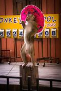 Monkey Show in Phuket Zoo with umbrella - stock photo