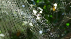 Big spider in web in mangroves Stock Footage