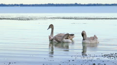 Young white swans on the water Stock Footage