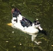 Beautiful duck with reflection in lake, detailed animal photo - stock photo
