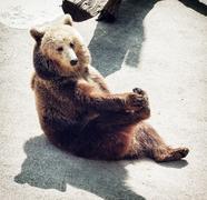 Brown bear (Ursus arctos arctos) sitting on the ground and licks his paw Stock Photos
