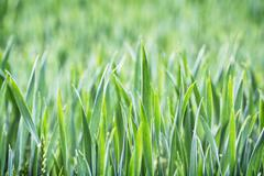 Green corn field in spring, seasonal agricultural theme Stock Photos
