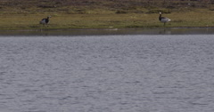 Barnacle Geese and Pan to Red-throated Diver Stock Footage