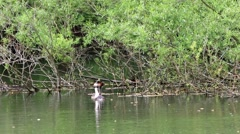 Crested Grebe Mirroring Whilst Courting - stock footage