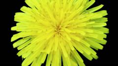 Screensaver - yellow dandelion flower on a black background Stock Footage