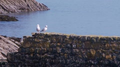 two sea gull prening on old stone pear - stock footage