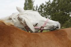 Horses preen - stock photo