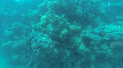 Green Giant Triggerfish hiding Stock Footage