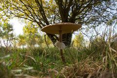 Parasol Mushroom in autumn - stock photo