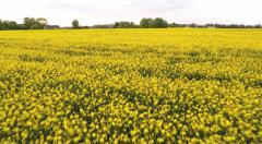 Yellow summer field. Aerial footage.  Low altitude flight. Stock Footage