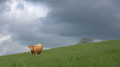 A cow grazes on a hillside as a storm approaches. Stock Footage