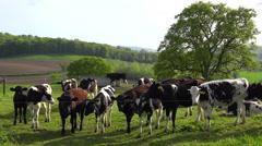 Cows graze on a hillside above terraced green fields in Great Britain. - stock footage
