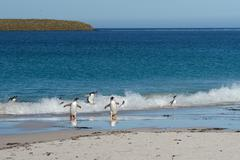 Gentoo Penguins Coming Ashore - stock photo