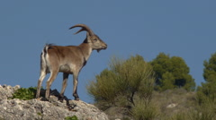 Iberian ibex male mountain Stock Footage