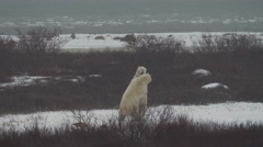 Two large Male Polar Bears Sparring in a Snow Storm Stock Footage