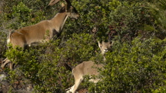 Female and male Iberian ibex Stock Footage
