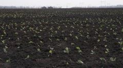 planting of young cabbage in the soil - stock footage