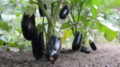 ORGANIC EGGPLANTS IN THE GARDEN WATER  - stock footage