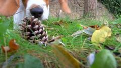 Playfully young Beagle jump to take pine cone - close up, slow motion Stock Footage