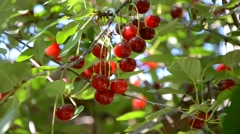 WILD CHERRY TREE SUMMER WIND  Stock Footage