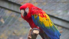 Close Up Of Scarlet Macaw Stock Footage