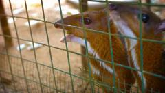 Tourist Feeding Chevrotains through a Wire Fence at a Zoo Stock Footage