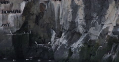 Guillemots Nesting on Arctic Cliff Ledge and Swimming in Oceean Stock Footage