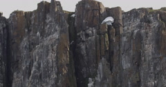 Static Wide Bird Cliff with Flocks of Kittiwakes Stock Footage