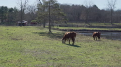 View of two cows grazing in pasture Stock Footage