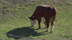 Large cow grazing in pasture Stock Footage