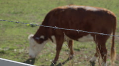DOF view of barbed wire and cows grazing in pasture Stock Footage
