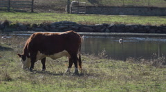 Single cow grazing in pasture Stock Footage