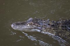 Alligator in murky water swimming - stock photo