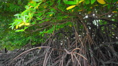 Slider tracking shot of tropical mangrove forest with exotic evergreen plants Stock Footage