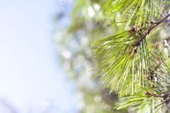 Coniferous pine branch - stock photo