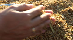 Unprocessed rice being poured on hands Stock Footage