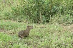 Capybara. Madidi Park. Bolivia - stock photo