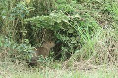 Capybara. Madidi Park. Bolivia Stock Photos
