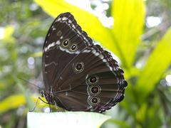 Owl butterfly, Caligo sp., in Amazon rainforest. Stock Photos