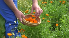 Herbalist man hands harvest marigold calendula herb blooms to dish. 4K Stock Footage