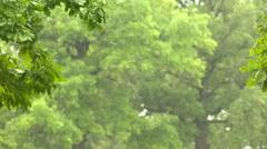 Rain in forest. Oak-tree Stock Footage
