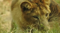 Lion resting in grass Stock Footage